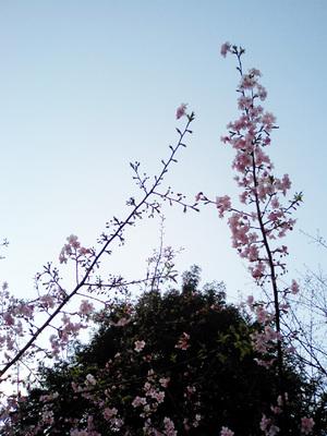 富士神社の桜